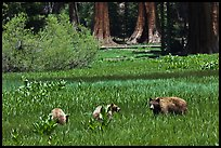 Mother and bear cubs with sequoia trees behind. Sequoia National Park ( color)