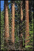Dogwood in early bloom and sequoia grove. Sequoia National Park, California, USA. (color)