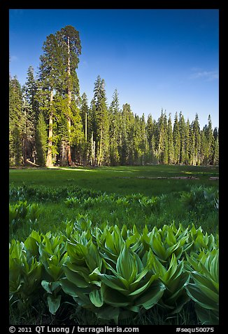 Corn lillies and sequoias in Crescent Meadow. Sequoia National Park (color)
