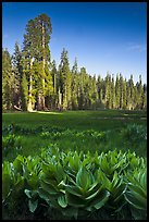 Corn lillies and sequoias in Crescent Meadow. Sequoia National Park ( color)