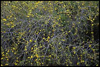 Branches and yellow blooms. Sequoia National Park ( color)