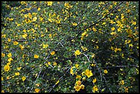 Multiple yellow blooms on tree. Sequoia National Park ( color)