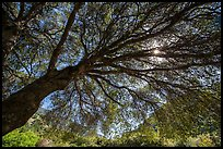 Looking up branches of oak tree in spring and sun. Sequoia National Park ( color)