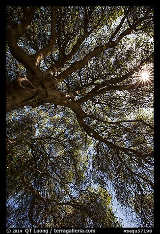 Looking up branches of oak tree and sunstar. Sequoia National Park (color)