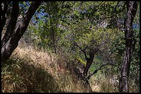 Oak trees and grasses in spring near Ash Peaks. Sequoia National Park ( color)