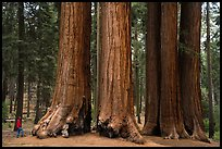 Visitor looking, Parker Group of giant sequoias. Sequoia National Park ( color)