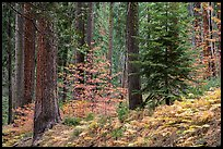 Forest with ferns and dogwoods in autum color. Sequoia National Park ( color)
