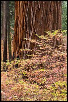 Dogwood leaves and sequoia trunk in autum. Sequoia National Park ( color)