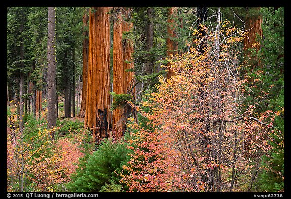Dogwoods in autumn foliage and sequoia grove. Sequoia National Park (color)