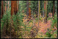 Dogwoods in autumn foliage and sequoia forest. Sequoia National Park ( color)