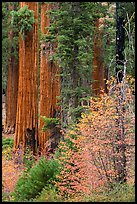 Dogwoods in fall foliage and sequoia trees. Sequoia National Park ( color)
