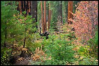 Dogwoods in fall foliage and sequoia forest. Sequoia National Park ( color)