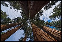Looking up Parker Group of sequoia trees. Sequoia National Park ( color)