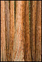 Tightly clustered sequoia tree trunks. Sequoia National Park ( color)