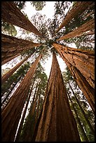 Looking skywards grove of sequoia trees. Sequoia National Park ( color)