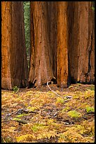 Group of giant sequoias and ferns in autumn. Sequoia National Park ( color)