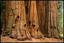 House group of giant sequoia trees, Giant Forest. Sequoia National Park ( color)