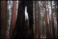 Hollowed sequoia tree, Giant Forest. Sequoia National Park ( color)