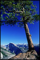 Pine tree and Half-Dome from Yosemite Point, late afternoon. Yosemite National Park ( color)