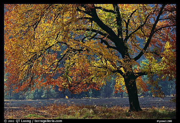 Elm Tree in autumn, Cook meadow. Yosemite National Park, California, USA.