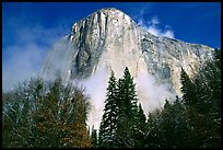 El Capitan, trees and fog, morning. Yosemite National Park ( color)
