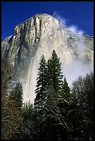 Pine trees and fog, looking up El Capitan. Yosemite National Park ( color)