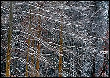 Snow-covered trees with diagonal branch pattern. Yosemite National Park, California, USA.