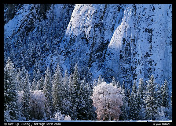 Trees and cliff with fresh snow, Cathedral Rocks. Yosemite National Park, California, USA.