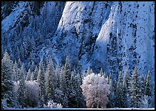 Trees and cliff with fresh snow, Cathedral Rocks. Yosemite National Park ( color)