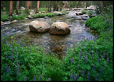Lupine, boulders, Tuolumne River in forest. Yosemite National Park ( color)