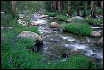 Stream and wildflowers, Tuolunme Meadows. Yosemite National Park ( color)