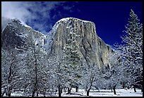 Snow-covered trees and West face of El Capitan. Yosemite National Park ( color)