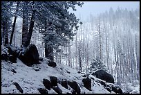 Forest with snow and fog, Wawona road. Yosemite National Park ( color)