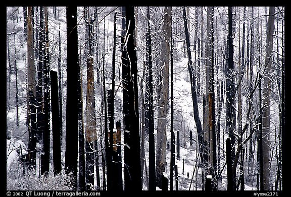 Burned forest in winter, Wawona road. Yosemite National Park, California, USA.