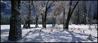 Oak Trees and snow, El Capitan Meadow. Yosemite National Park (Panoramic color)