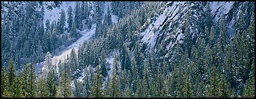 Slopes with trees in winter. Yosemite National Park (Panoramic color)