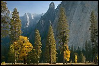 Oaks, pine trees, and rock wall. Yosemite National Park ( color)