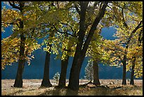 Black oaks in early fall foliage, El Capitan Meadow, morning. Yosemite National Park ( color)
