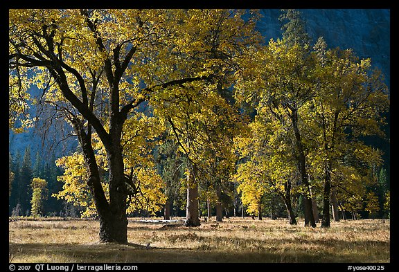 Black oaks with with autumn leaves, El Capitan Meadow, morning. Yosemite National Park, California, USA.