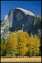 Aspens and Half Dome in autumn. Yosemite National Park, California, USA.