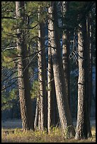 Pine trees, late afternoon. Yosemite National Park, California, USA.