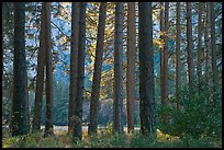 Pine trees bordering Cook Meadow. Yosemite National Park, California, USA.