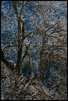 Branches of Elm tree and light. Yosemite National Park, California, USA.