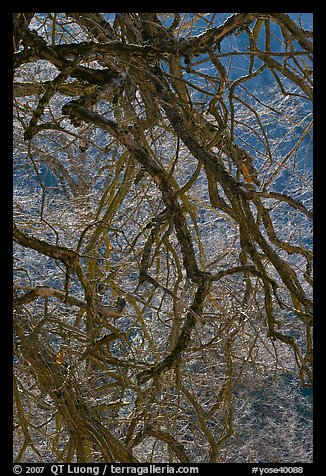Dendritic branches pattern. Yosemite National Park (color)