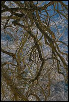 Dendritic branches pattern. Yosemite National Park, California, USA.