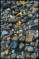 Pebbles and fallen leaves. Yosemite National Park ( color)