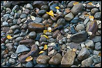 Autumn leaves and pebbles. Yosemite National Park, California, USA. (color)