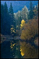 Sunlit autumn tree, Merced River. Yosemite National Park, California, USA. (color)