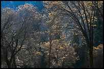 Backlit oak trees with sparse leaves, El Capitan Meadow. Yosemite National Park ( color)