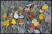 Leaves and grass with frost. Yosemite National Park, California, USA. (color)